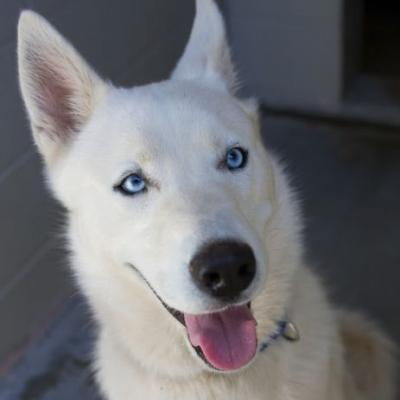 """ICE"" blue eyed white Husky"