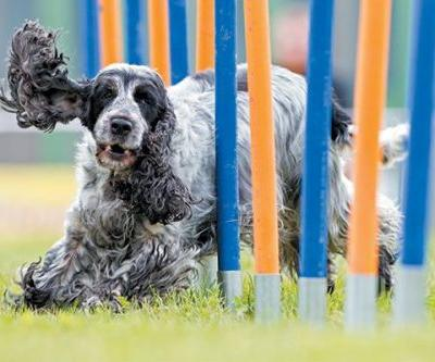 Dog Agility -Get to Know the Basics of This Fun and Beneficial Sport