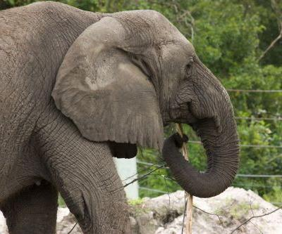 Michael Jackson's former elephant escapes from zoo