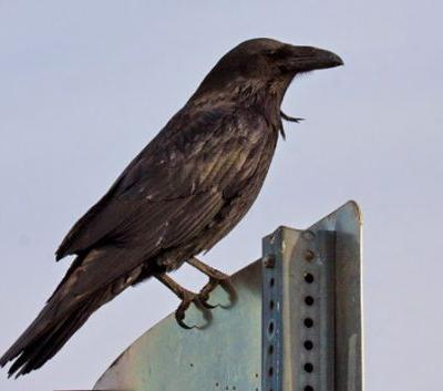 The Raven: Nesting in Philadelphia for the First Time?