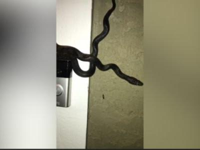 Ding dong! Man discovers a 4-foot snake that he says rang his doorbell