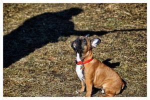 Top 3 Cues To Teach Your French Bulldog
