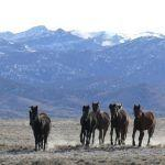 Knowledge, Tradition, and Community Predict Success for BLM Wild Horse Adoptions in Colorado and Texas