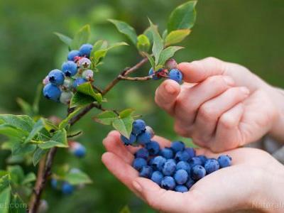 Eating a cup of blueberries a day protects you against heart disease and cancer, scientists discover