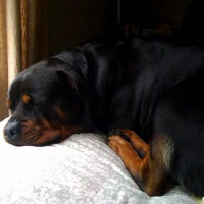 8 Signs Your Rottweiler Fully In Charge