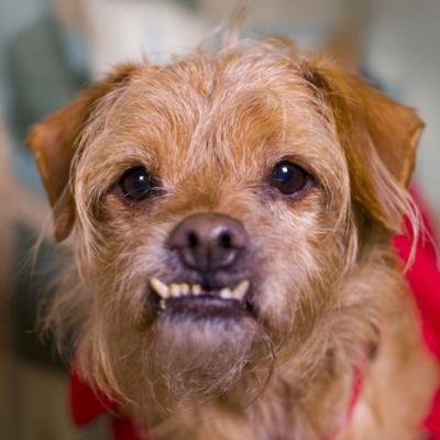 """BUSTER"" Special Needs - adoptable Terrier mix"