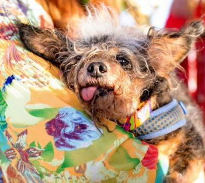 Meet Scamp the Tramp, the messy-haired toothless canine just named the world's Ugliest Dog