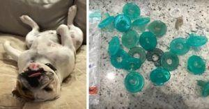 Vet Discovers 19 Pacifiers In Bulldog's Stomach