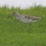 New York State's First Common Greenshank
