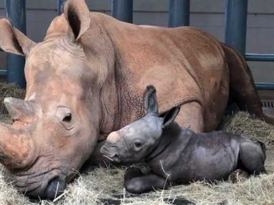It's a boy - a big boy. White rhino born at Disney World