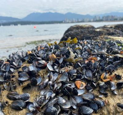 Climate Disaster Looks Like Thousands of Boiled-Alive Mussels on a Beach in Vancouver