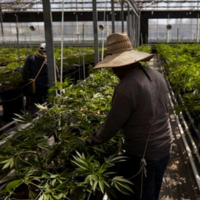 What's that smell? California flower town wrestles with odor shift to pot