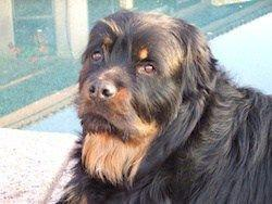 All You Need To Know About The Long Hair Rottweiler