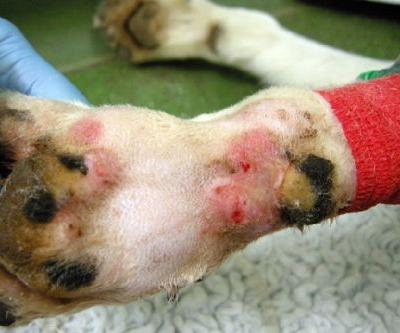 What Is Alabama Rot in Dogs and Is Your Dog at Risk?