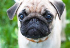 Dry Nose Is A Common Issue With Many Pugs, Here's How You Can Make Life Easier On Them
