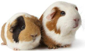 "March is ""Adopt a Rescued Guinea Pig Month"""