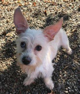"""SOOKIE"" adorable terrier type"