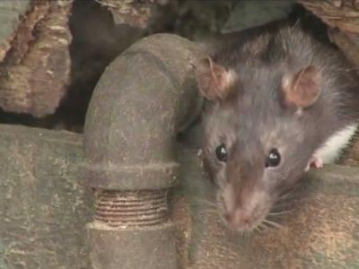 New York plans to deal with its rat problem by drowning them in booze
