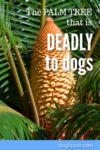 Sago: The Palm Tree that is Deadly to Your Dog