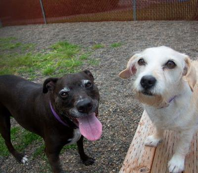 """PARIS"" ""HERSHEY"" big and little BONDED PAIR - a terrier and a distinquished mutt"