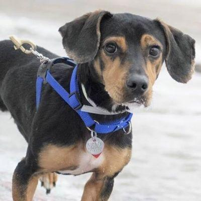 """""""I'm a friendly two year old Dachshund mix who is"""