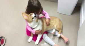 Adorable Corgi Knows Just What To Do To Stop His Human's Tantrum