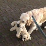I Can't Get Over This Golden Retriever Who Has a Stuffed Animal Mini-Me He Brings Everywhere