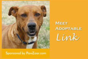 Meet Adoptable Link whose kennel your purchases have sponsored!
