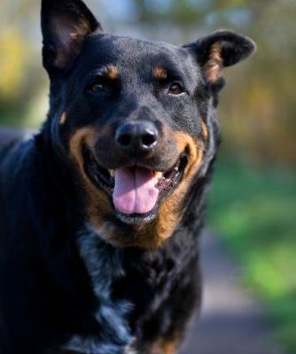 """KENJI"" cuddlebug- obese- Rottie mix"