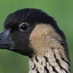 Endangered Species Act: Potential Downlisting for Hawaiian Goose