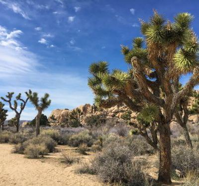 I went to Joshua Tree after the government shutdown. Even though it looked picture-perfect, it could actually take the park 300 years to recover from the damage