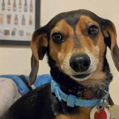 Dachshund Breed Information Guide: Quirks, Pictures, Personality & Facts