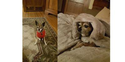 I adopted my little girl Betty, afemale Chihuahua, andshe has