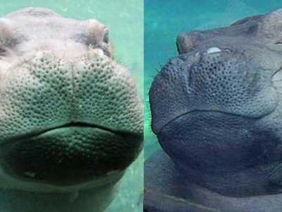Fiona receives special valentine gift from Timothy the hippo, her not-so-secret admirer