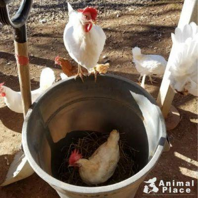 Animal caregivers were working so hard the chickens decided to