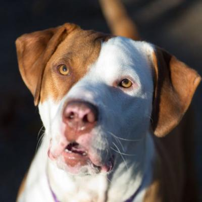 """DUCK"" quite likeable Pitbull mix"