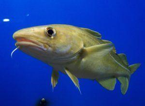 Codfish Study Employs Target Capture and SMRT Sequencing to Explore Evolution