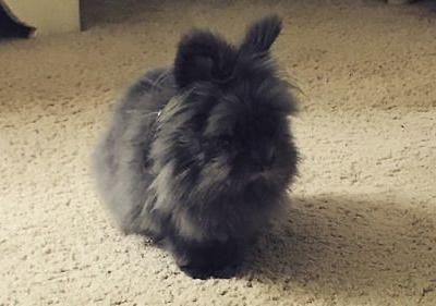 We first met Georgie the lionhead bunny on