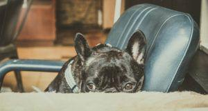 5 Signs Your French Bull Dog Is Stressed