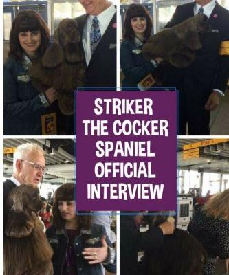American Cocker Spaniel Striker Comes Close at Westminster