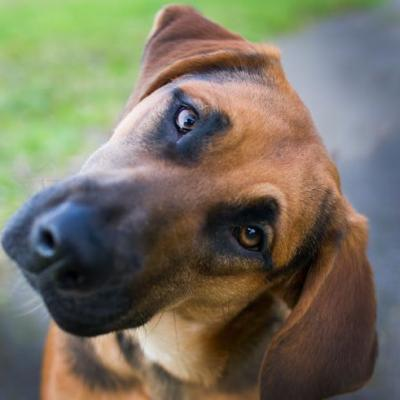 """""""ASTRA"""" BEST DOG! midsize young hound/shepherd? mix"""