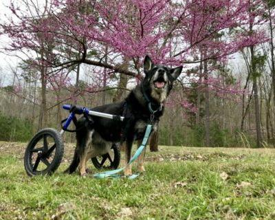 Does Your Dog Need A Wheelchair?