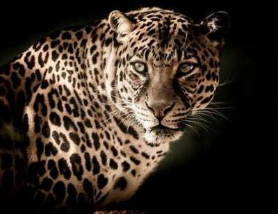 At 460 Deaths, India Records Highest Leopard Mortality Rate In 2018