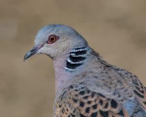 The Genomic Gift Worth Giving: New Assembly Could Help Conserve Declining Turtle Dove Populations