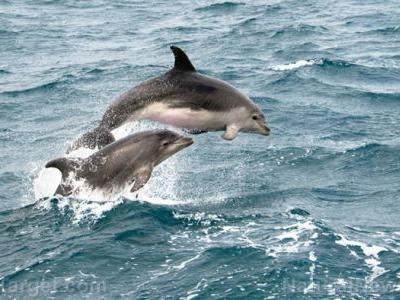 "New study examines complexity of dolphin culture; researchers determine that brain size correlates with ""human-like"" behaviors and societies"