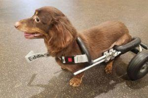 Paralyzed Dachshund Dumped In Trash Bag Gets A Wheelchair & A Forever Home