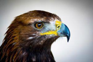 International Eagle Conservation Efforts Bolstered By New Genome Release