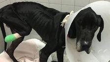 Animal Shelter Says Starved Great Dane Ate Its Own Foot To Survive