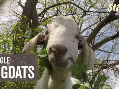Calling all goat lovers! Four-legged friends helping out park's conservation efforts