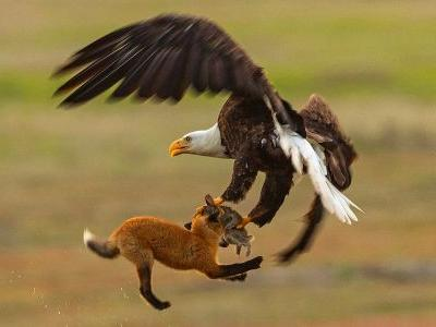 Watch: Bald eagle battles fox for rabbit in skies above San Juan Island